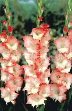 Pink lady lustig flower bulbs pink lady mightylinksfo